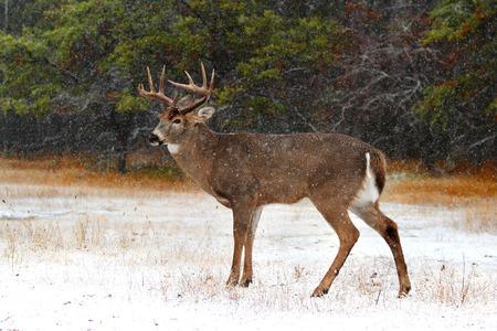 Cervo di cervo bianco in una giornata invernale nella foresta