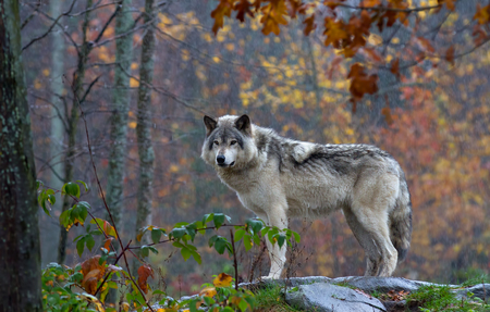 Timber wolf on top of a rock looks back on an autumn day