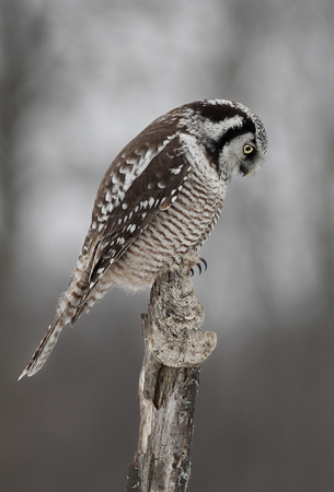 Northern Hawk Owl (Surnia ulula) atop a post in winter