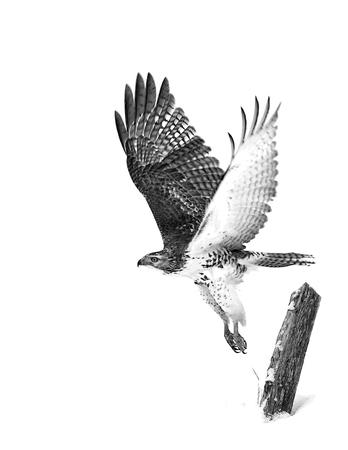 アカオノスリ (ノスリ属 jamaicensis) 飛行中