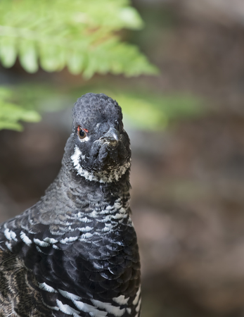 Spruce grouse male (Falcipennis canadensis) posing in lichen in Algonquin Park
