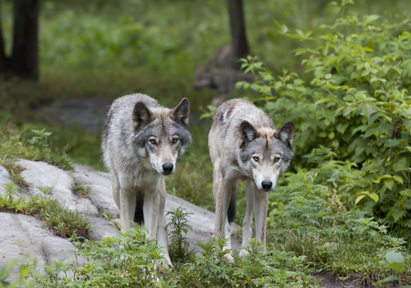 Timber wolves (Canis lupus) on rocky cliff in summer