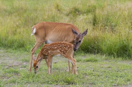 흰 꼬리 사슴 새끼 사슴과 잔디 필드에서 방목하는 미상