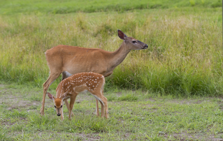 White-tailed deer fawn and doe grazing in a grassy field
