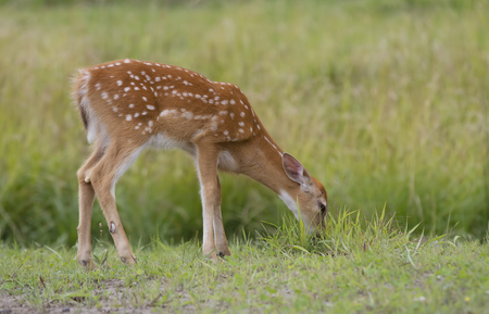 White-tailed deer fawn grazing in a grassy field