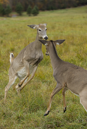 White-tailed deer fighting in an autumn meadow