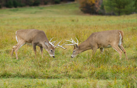 White-tailed deer bucks fighting during the rut in autumn