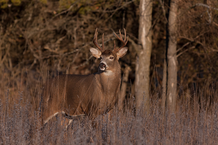 White-tailed deer buck looking for a mate during the rut in the early morning autumn light