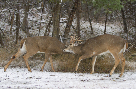 Two white-tailed deer bucks fighting each other on a snowy day