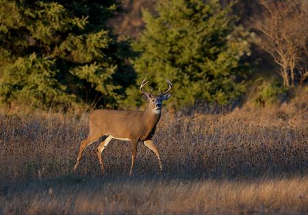 錆の間に早い夕方の光の白い尾の鹿のバック