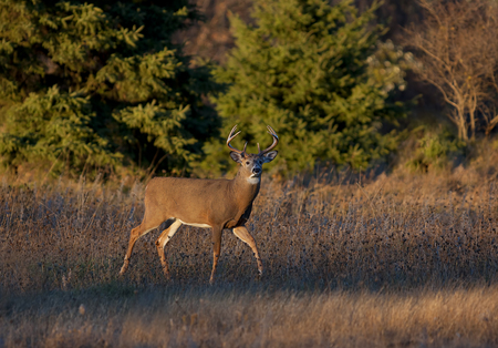 White-tailed deer buck in the early evening light during the rut 스톡 콘텐츠