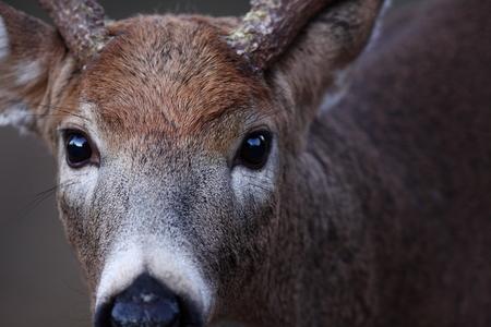 秋の白い尾の鹿のバッククローズアップ