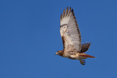 Red-tailed hawk (Buteo jamaicensis) in flight against a blue sky Stock Photo