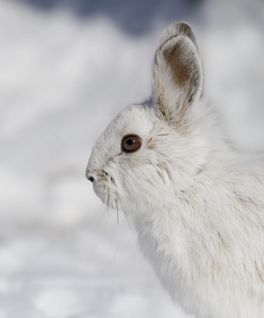 Snowshoe hare (Lepus americanus) posing in the winter snow