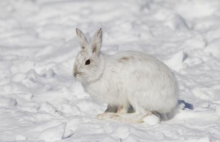 Snowshoe hare (Lepus americanus) posing in the winter snow