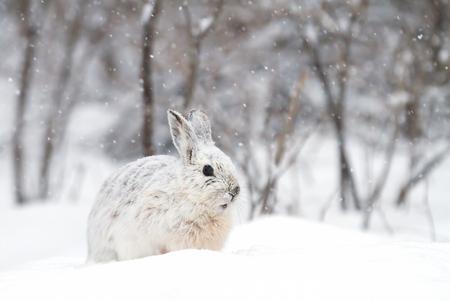 스노 슈 토끼 (Lepus americanus) 떨어지는 겨울 눈에서 포즈 스톡 콘텐츠