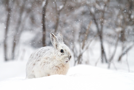 Snowshoe hare (Lepus americanus) posing in the falling winter snow Stock Photo