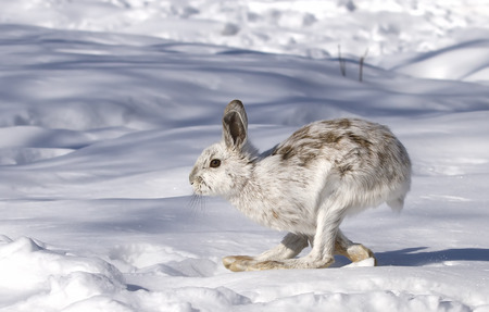Snowshoe hare (Lepus americanus) with coat turning brown running in the winter snow Stock fotó