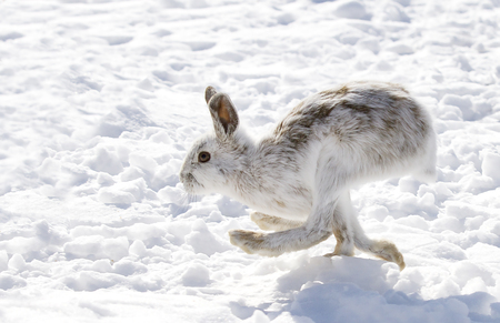 Snowshoe hare (Lepus americanus) with coat turning brown running in the winter snow Stock Photo