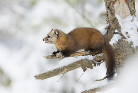 Pine marten (Martes americana) on a snow covered tree branch in Algonquin Park Stock fotó
