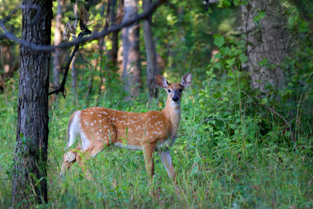 White-tailed deer fawn grazing in a grassy field in Canada