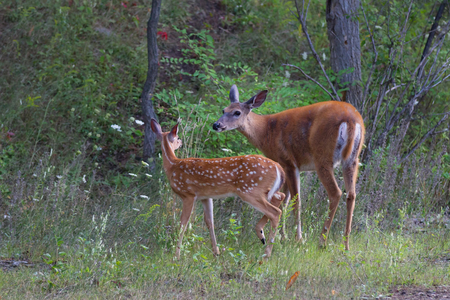 White-tailed deer fawn and doe grazing in a grassy field in Canada Reklamní fotografie