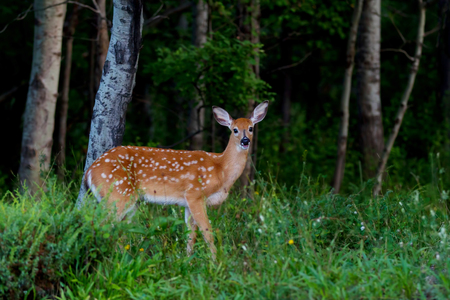 White-tailed deer fawn walking in a forest in Canada