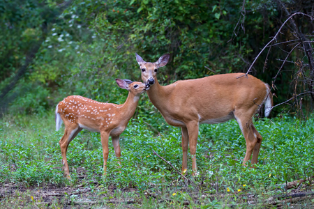 White-tailed deer fawn and doe grazing in a grassy field in Canada Stock Photo