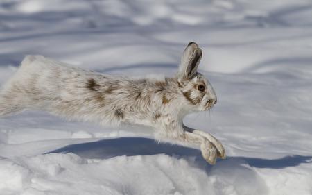 스노 슈 토끼 (Lepus americanus) 캐나다에서 겨울 눈 속에서 실행