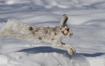 Snowshoe hare (Lepus americanus) running in the winter snow in Canada