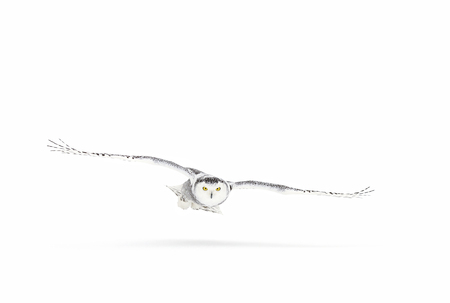눈 덮인 올빼미 (Bubo scandiacus)는 캐나다에서 눈이 덮여 필드 위에 사냥 스톡 콘텐츠