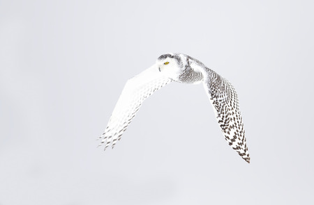 Snowy owl (Bubo scandiacus) hunting over a snow covered field in Canada Stockfoto