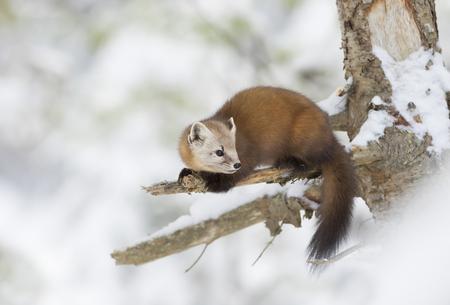 Pine Marten (Martes americana) in Algonquin Park in winter snow Archivio Fotografico
