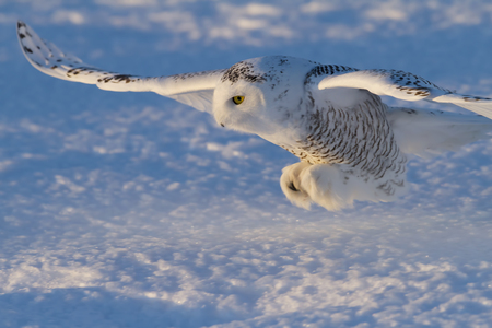 Closeup of a Snowy owl (Bubo scandiacus) about to pounce on its prey on a snow covered field in Canada