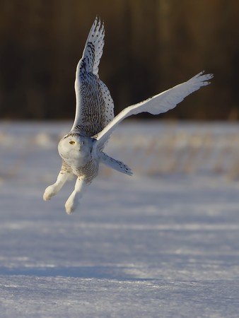 Snowy owl (Bubo scandiacus) taking off hunting at sunset over a snow covered field in Canada Stockfoto