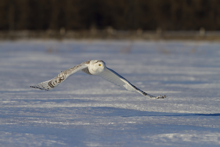 Sneeuwuil die (Bubo-scandiacus) de jacht jagen bij zonsondergang over een sneeuw behandeld gebied in Canada Stockfoto