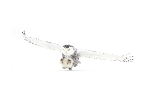 Snowy owl (Bubo scandiacus) coming in for the kill over a snow covered field Stok Fotoğraf