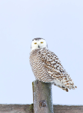 Snowy owl (Bubo scandiacus) hunting from atop an icy frozen post in Canada Stock Photo