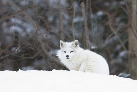 Arctic fox (Vulpes lagopus) sitting in the snow in winter in Canada