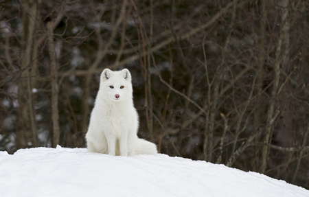 Arctic fox (Vulpes lagopus) sitting in the snow in winter in Canada