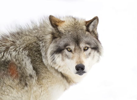 Timber Wolf (Canis lupus) portrait closeup in winter snow