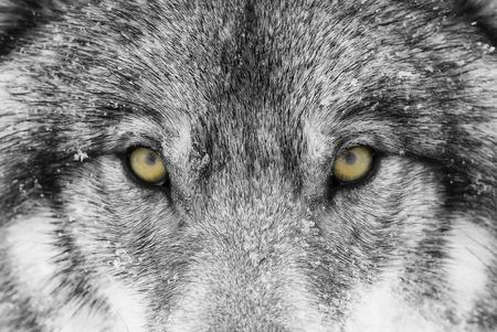 冬の雪の中で黄色い目をクローズアップしたティンバーウルフ(キャニスループス)