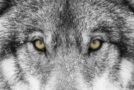 Timber Wolf (Canis lupus) avec des yeux jaunes gros plan dans la neige de l'hiver