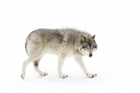 Timber wolf (Canis lupus) walking in the winter snow Reklamní fotografie