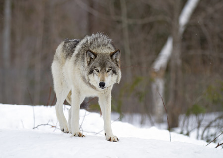 Timber wolf (Canis lupus) standing in the winter snow