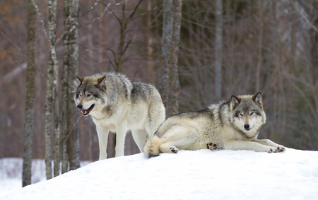 Timber wolves (Canis lupus) standing in the winter snow