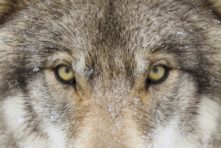 Timber Wolf (Canis lupus) with yellow eyes closeup in winter snow Stock Photo