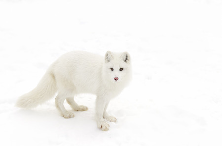 Arctic fox (Vulpes lagopus) standing in the snow in winter in Canada