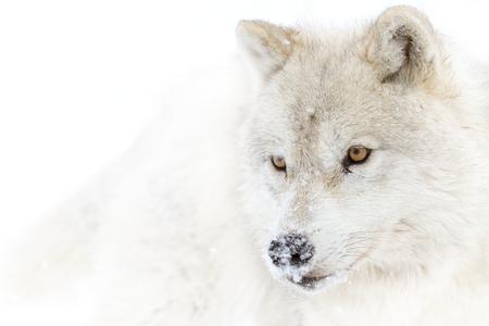 Arctic wolf (Canis lupus arctos) closeup in the winter snow in Canada