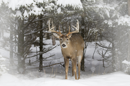White-tailed deer buck coming out of the forest in the winter snow in Canada 스톡 콘텐츠